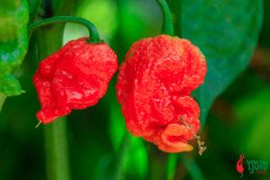 Ekstrakt kapsaicina - kada ni najljuća papričica nije dovoljna 1