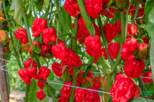 Ekstrakt kapsaicina - kada ni najljuća papričica nije dovoljna 3